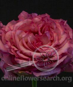 Rose Caralinda