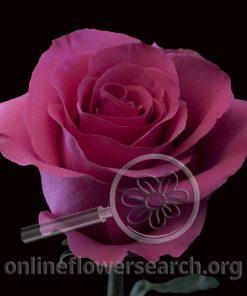 Rose Glow Girl
