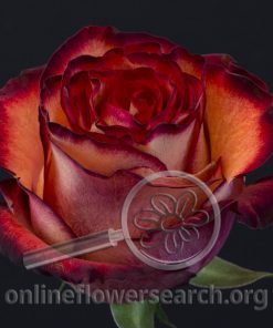 Rose Diabolo