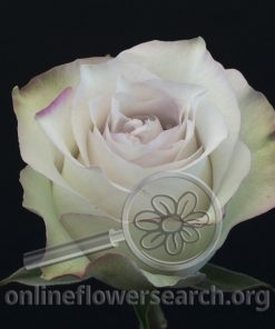 Rose Deep Silver