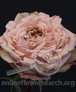 Rose Art Nuvo (aka Art Nouveau)