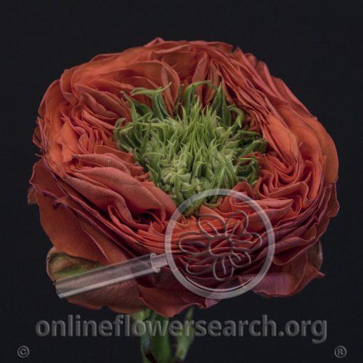 Rose Bright Corneille