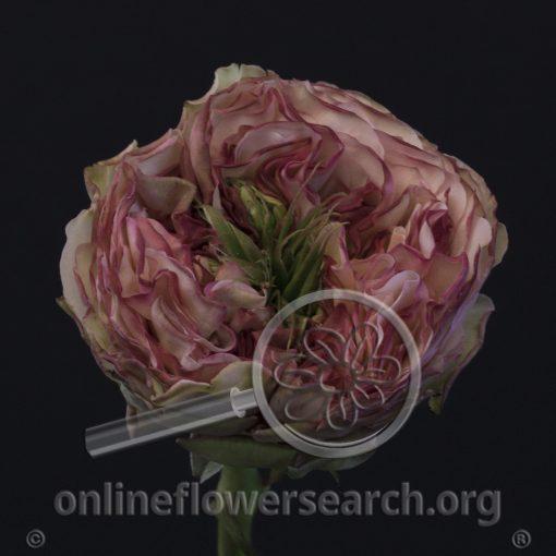 Rose Charming Corneille