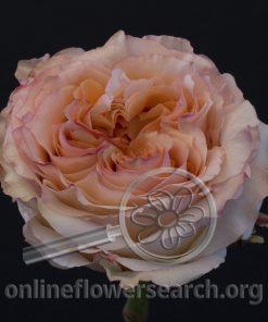 Rose Georgia Peach