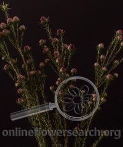 Leucadendron Jubilee Crown
