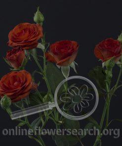 Spray Rose Brown Sugar
