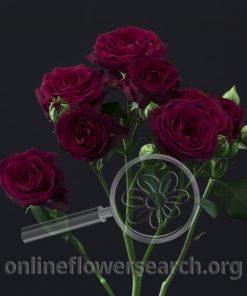 Spray Rose Fabiola Purple