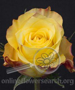 Rose Golden Tower