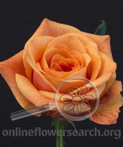 Rose Sunset Glory