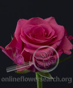 Rose Melissa