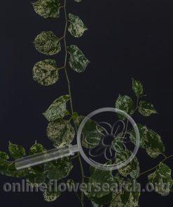 Fallopia japonica varigata
