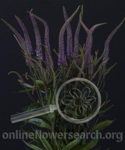 Veronicastrum virginicum 'Lila Karina'