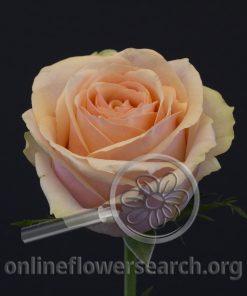 Rose Dividend