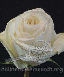 Rose Lermontov