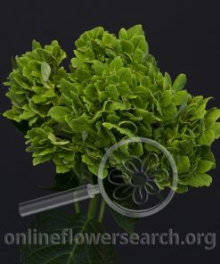 Hydrangea Green Clover