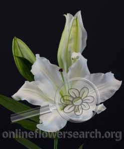 Lily Oriental Asterian
