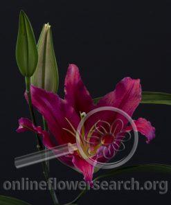 Lily Oriental Bacardi
