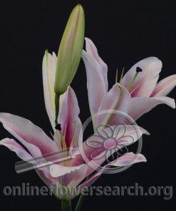 Lily Oriental Dahlia