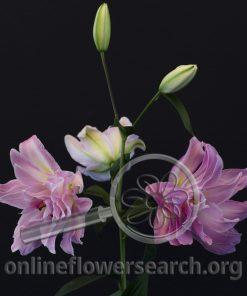 Lily Oriental Double Surprise