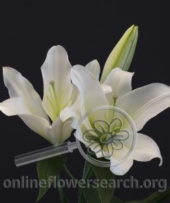 Lily Oriental Forever