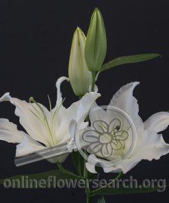 Lily Oriental Monteneu
