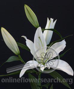 Lily OT Hybrid Finion
