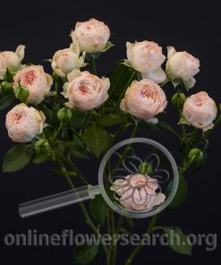 Spray Rose Bridesmaid