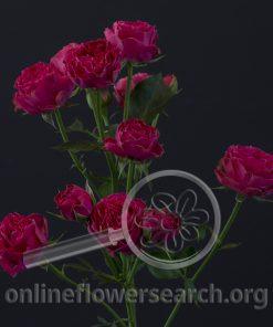 Spray Rose Bright as a Button