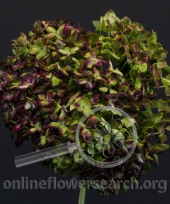 Hydrangea Jumbo Antique Shamrock Variegated