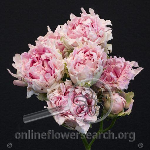 Spray Rose Candy Flow