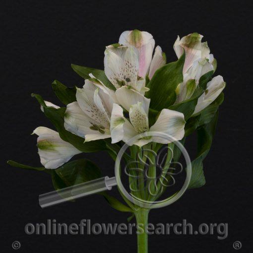 Alstroemeria Anastacia