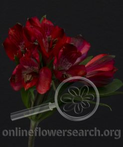 Alstroemeria Red Delight