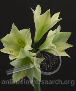 Amaryllis Green Valley