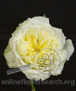 Rose Annice