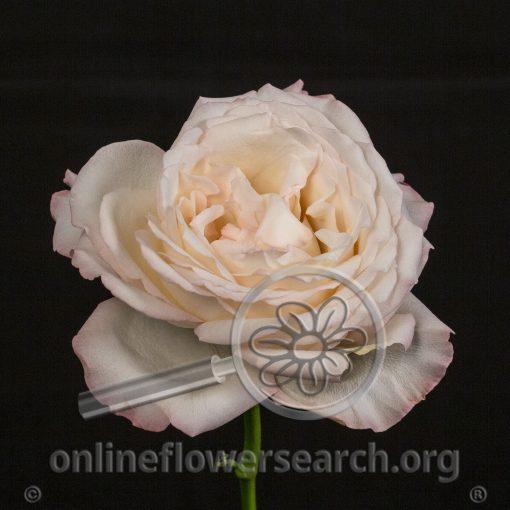 Rose Blushing O'Hara