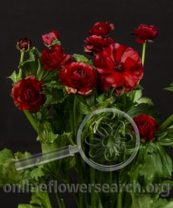Ranunculus Butterfly 'Hades'