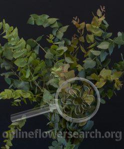 Eucalyptus Stuartiana