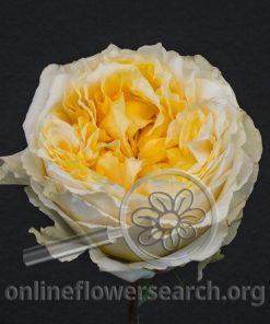 Rose Caraluna Gold