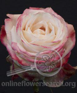 Rose Chapeau