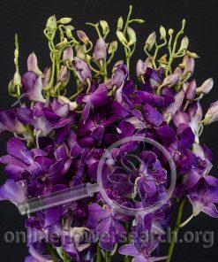 Dendrobium Chid Chom