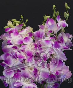 Dendrobium Dahlia Pink