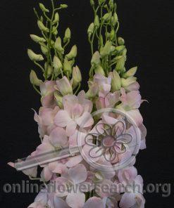 Dendrobium Jinda Sweet