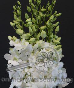 Dendrobium Lervia White