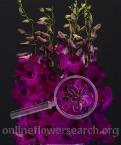 Dendrobium Madam Pink