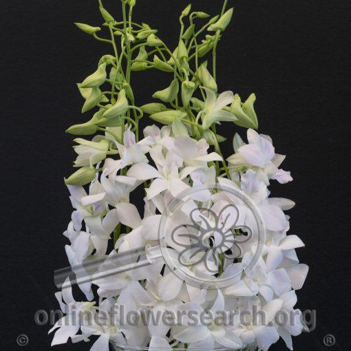Dendrobium Sonia White