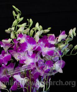 Dendrobium Anna