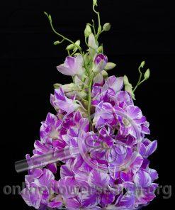 Dendrobium Kamila