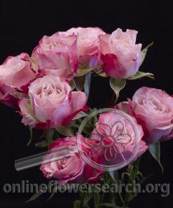 Spray Rose Amy