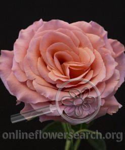 Rose Aline!