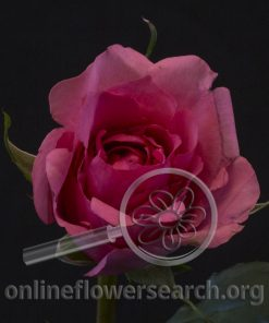 Rose Ladies Night